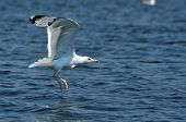 foto of flock seagulls  - Flying seagull in the Danube delta reserve