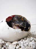 stock photo of dwarf  - African dwarf crocodile (Osteolaemus tetraspis) baby in the egg