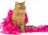 Domestic Red Cat Sitting Dressed Up With A Pink Boa poster