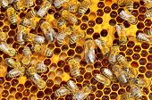 image of honey bee hive  - macro shot of bees swarming on a honeycomb - JPG