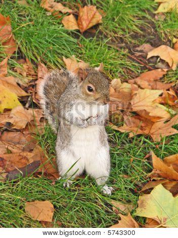 London Eichhörnchen