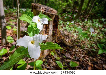 Two White Trilliums Horizontal