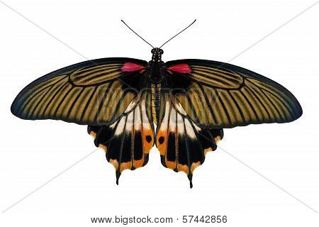 Top View Of Female Yellow Body Great Mormon Butterfly