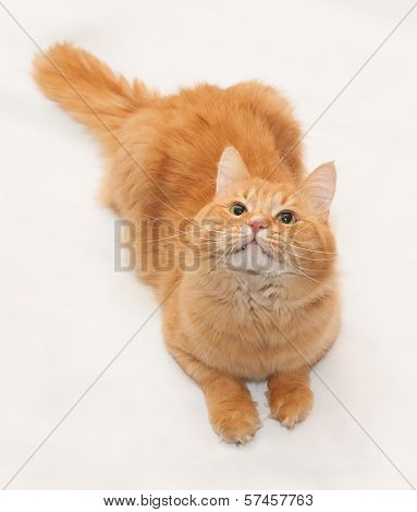 Red Fluffy Cat Looking Up On White Background