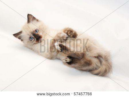 Seal Point Kitten With Blue Eyes Tired And Lying On His Back