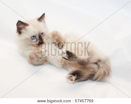 Seal Point Kitten With Blue Eyes, Lying On His Back