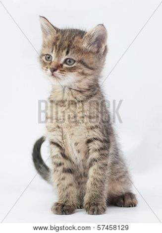 Striped Fluffy Kitten Sits, Stretching His Neck Up