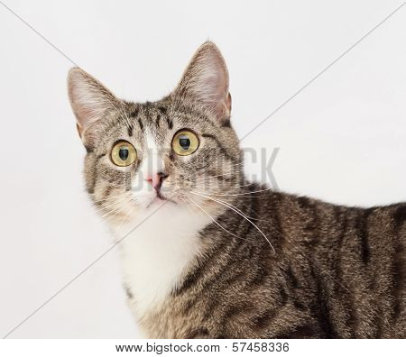 Tabby Cat With Yellow Eyes And White Nose Stares