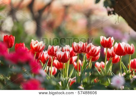 Beautiful Colorful Tulips In Garden