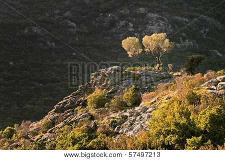 Olive Trees On The Rocks