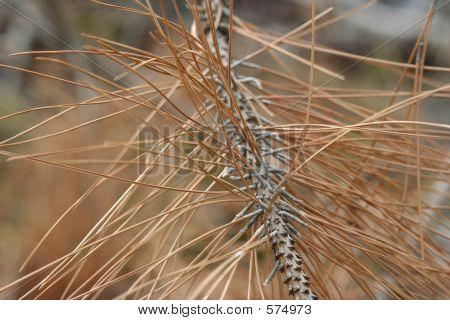 Dead Pine Needles 2