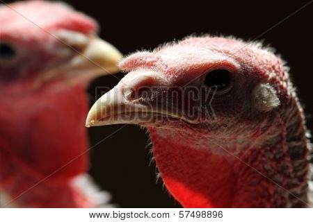 Backlit Turkey Hen