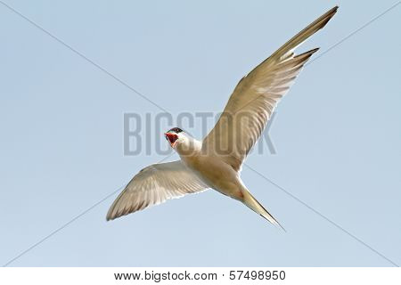 Sterna Hirundo Over The Blue Sky