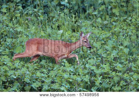 Roe Deer Doe Walking Tranquil