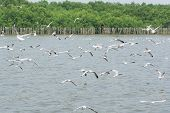 picture of flock seagulls  - Flocks of Seagull in flight on water at Bangpoo of Thailand - JPG
