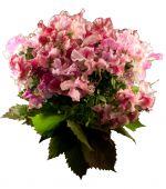 image of sweetpea  - Sweet pea flowers isolated on white background - JPG