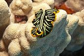 pic of flatworm  - Macro shot of a black and yellow flatworm which keeps a close profile to the coral upon which it is crawling - JPG