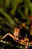 foto of locusts  - one locust eating the grass in the nature  - JPG
