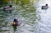 image of canard  - A duck looking at you with two other ducks on the background on a lake - JPG