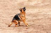 foto of german-sheperd  - shepherd dog standing on the ground preparing to jump or bark - JPG