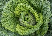 image of water cabbage  - Fresh green cabbage with drops of water - JPG