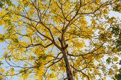 image of vishu  - Beautiful Golden Shower Tree Under Blue Sky Chiang Mai Thailand - JPG