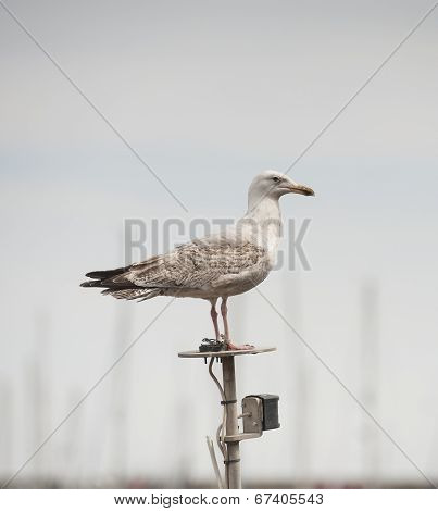 Juvenile Herring Gull Seabird Stood On Boat Mastl