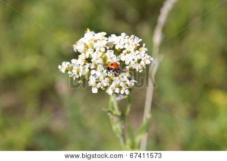 ladybird on the yarrow