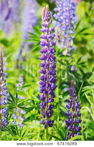 Lupines In Violet Growing In Garden