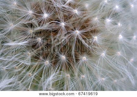 Fluffy Dandelion Macro