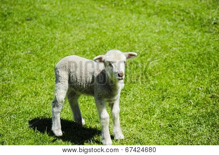 Lamb In A Field Of Grass