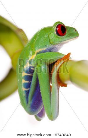 Bamboo Frog!