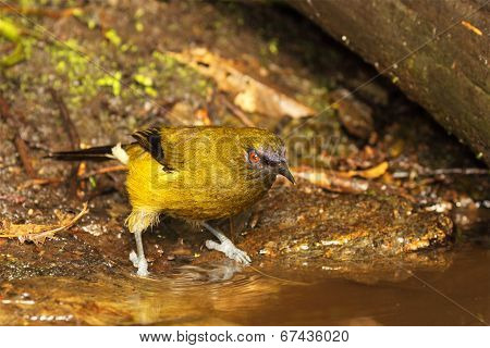 Bellbird Preparing To Drink