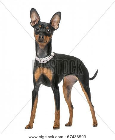 Miniature Pinscher (7 months old)