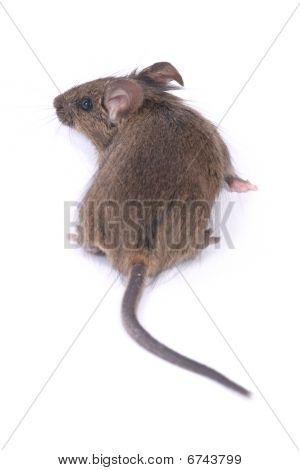 Little Wild Mouse