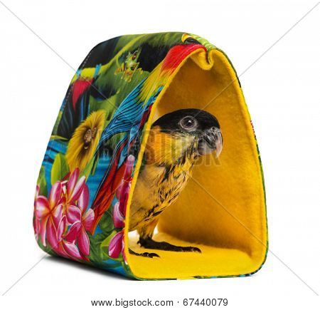 Young Black-capped Parrot (10 weeks old) standing in a bag, isolated on white