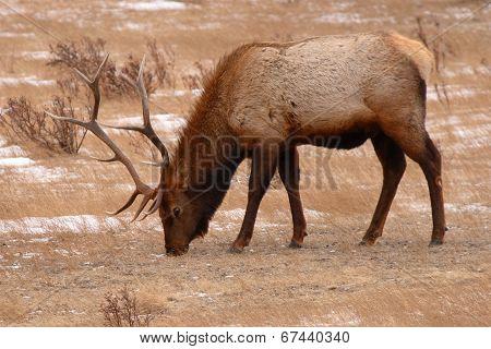 Elk Bull Feeding In Winter Field
