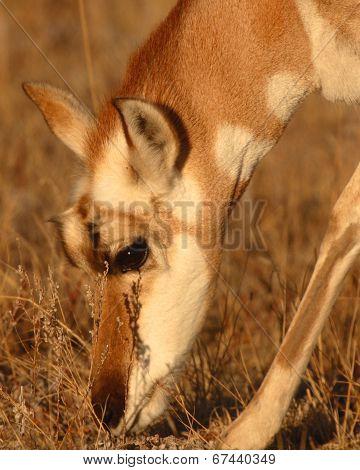 Pronghorn Antelope Female Feeding