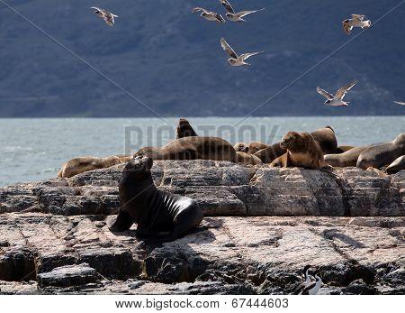 Ushuaia Landscape - Sea Lions resting on Large Rock Formation