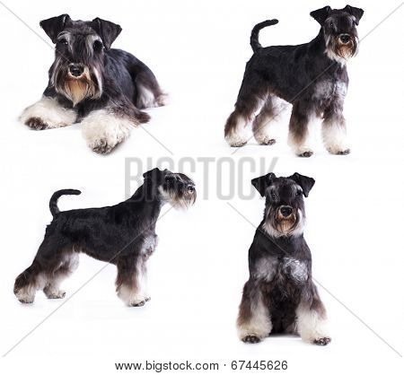 young schnauzer on white background