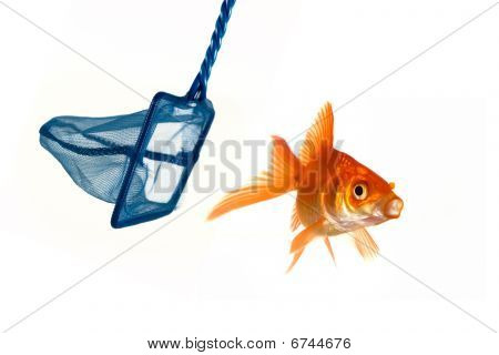 Goldfish Trying To Avoid Being Caught