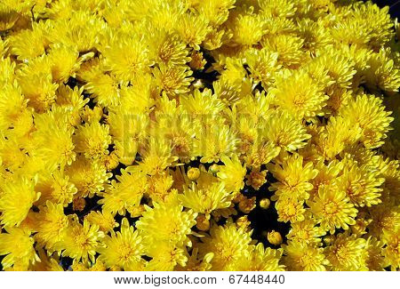 Yellow Chrysanthemum Flower