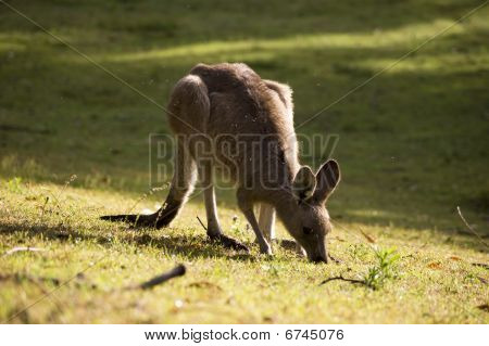 Eating kangaroo