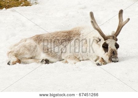Male reindeer lying down asleep in snow