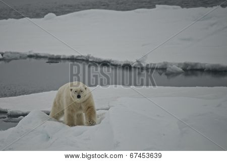 Polar bear climbing ice floe in Arctic