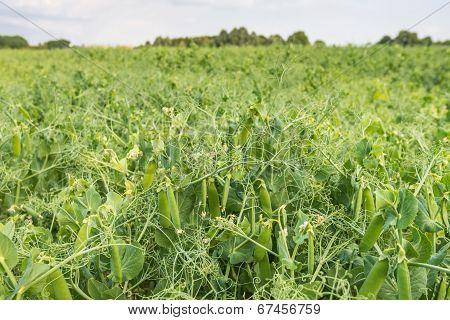 Closeup of growing peas