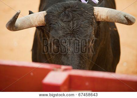 Fighting Bull Head Detail