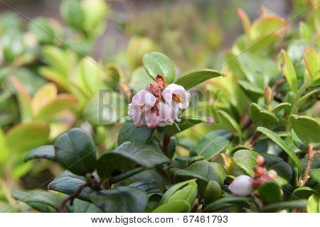 Lingonberry Flowers