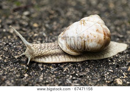 Small Brown Snail
