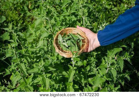 Herbalist Hand Pick Balm Herb Plant Leaves